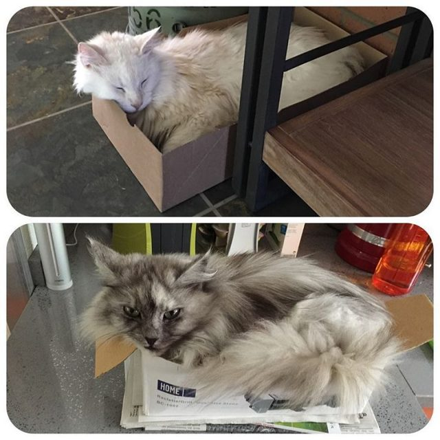 Fiicher livinginabox mainecoon